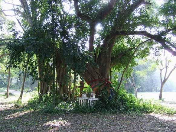 ต้นโพธิ์รามอินทรา